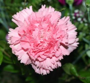 garden-flower-carnation-pink_2229_800_739