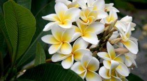 plumeria-entre-as-flores-mais-bonitas-do-mundo