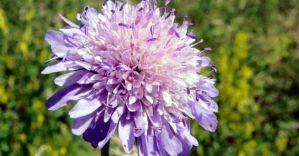 01-knautia-arvensis-flor-medium